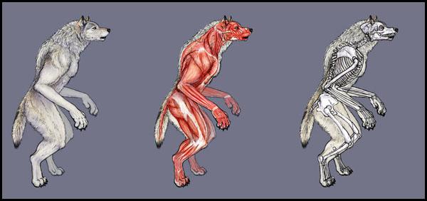 [RP] - Petit précis sur la lycanthropie Anatomie-1-3040304