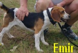 EMIR - mâle beagle - 3 ans - NALA Emir-2b99c89